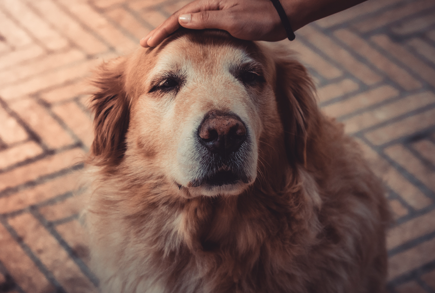 Top Tips on How to Care for an Aging Dog